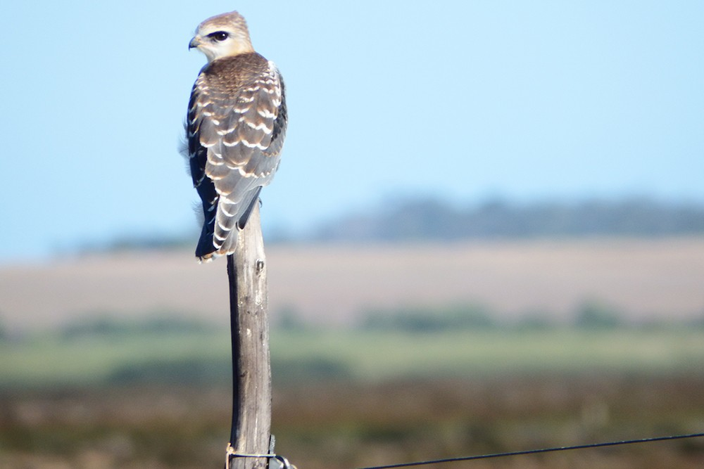Birding on the Agulhas Plain