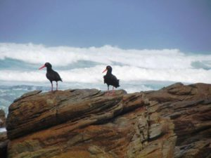Black Oystercatchers near the southernmost tip of Africa