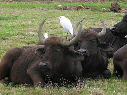 Buffalo sale on the Agulhas Plain