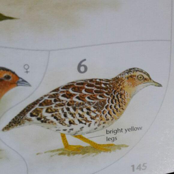 Buttonquail Birding Bash