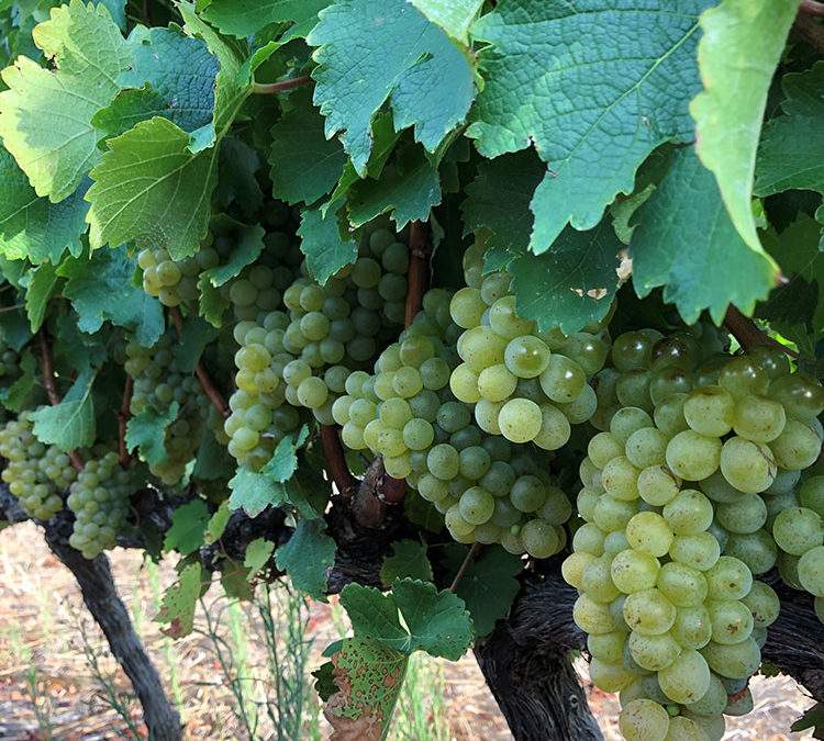 The final chapter: The Secrets of Sauvignon revealed